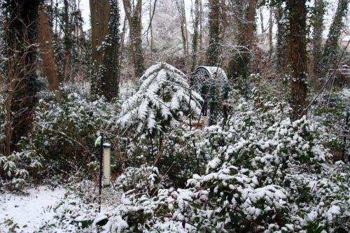 neige mahonia 20 février 002.jpg