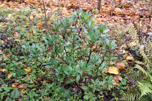 arbutus romi 5 nov 016.jpg