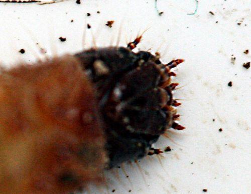 tipule larve tête pp romi 8 nov 022.jpg