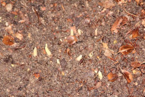 galanthus elwesii 001.jpg