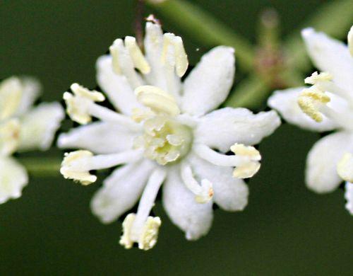 monstrosa fleur pp romi 26 mai 2009.jpg