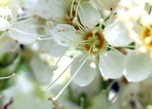 11 filipendula fleur romi 22 juin 2012 088.jpg