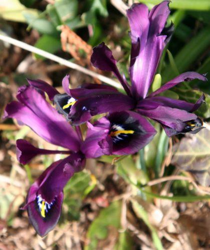 iris veneux 25 fev 005.jpg