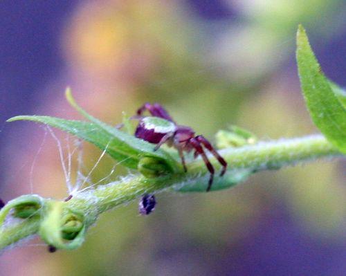 araignée verte romi 22 oct 013.jpg