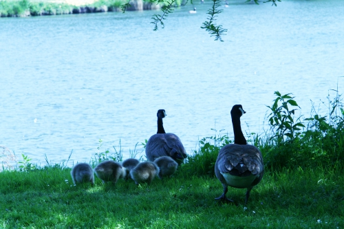 4 bernaches couple et petits 20 mai 2008 100.jpg