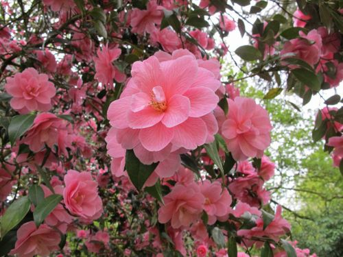 camellia3.jpg