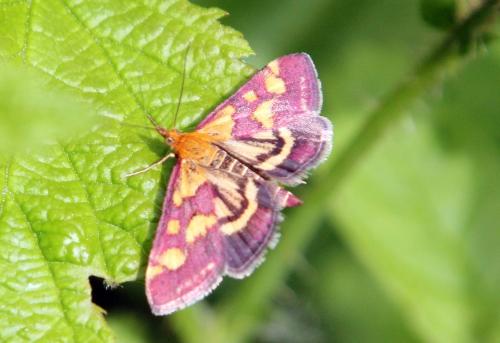 pyrausta purpuralis romi 3 juil  2012 032 (3).jpg