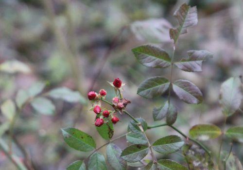 3 fraise des bois romi 4 déc 2012 015.jpg