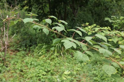 0 rubus phoenicolasius romi 13 juil 2015 014.jpg
