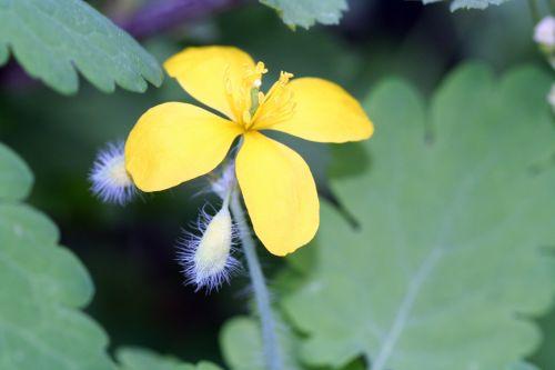 chelidoine fleur veneux 26 avril 038.jpg