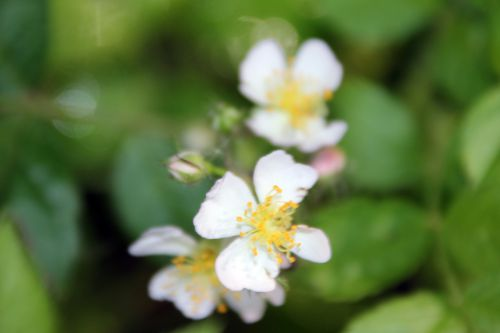 8 rosa multiflora semis romi 31 mai 2014 055 (3).jpg