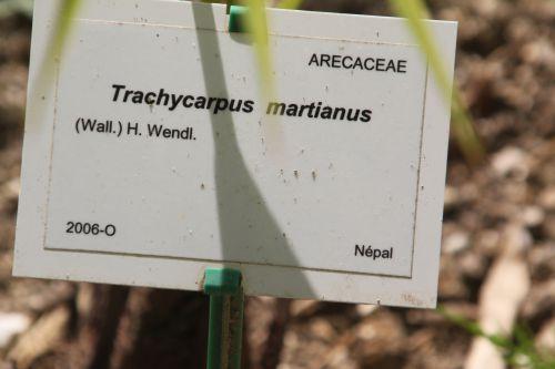 trachycarpus martianus marnay 16 juin 2013 085 (2).jpg