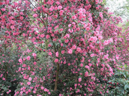camellia2.jpg