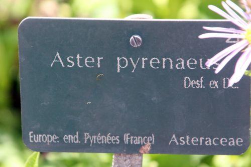 9 aster pyrenaeus paris 21 juil 2012 238.jpg