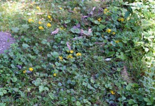 nummularia 1 romi 28 juin 2010 081.jpg