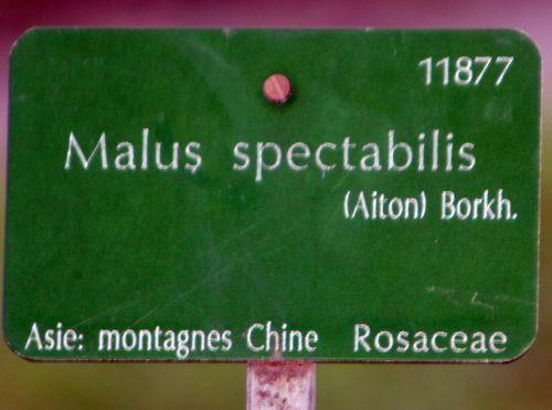 malus spectabilis étiq paris 16 jan 087.jpg