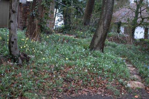 1 galanthus jonquilles veneux 4 mars 2016 006.jpg