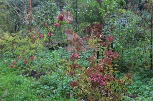 hydrangea romi 14 octobre 2015 024 (4).jpg