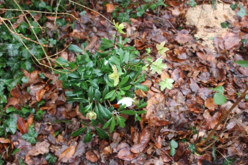 2 helleborus niger veneux 23 janv 2016 022.jpg