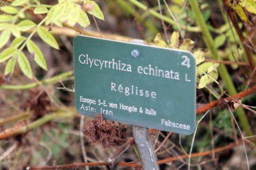 3 glycyrrhiza echinata paris 10 nov 2012 185.jpg