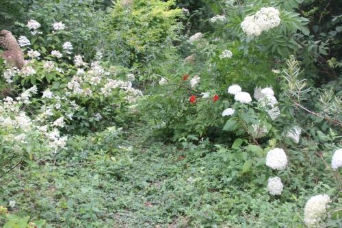 hydrangea romi 19 juil 2015 171.jpg