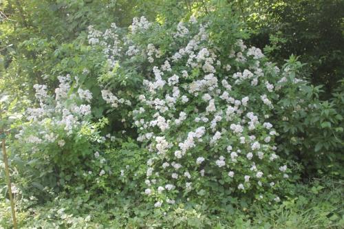 6 rosa multiflora romi 9 juin 2015 021 (2).jpg