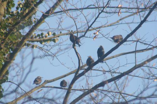 étourneaux arbre 31 janv 010.jpg