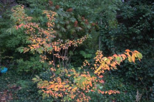 11 prunus autumnalis veneux 17 oct 2016 002 (2).jpg