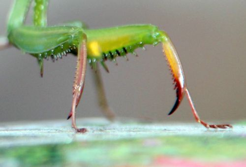 f mantis pattes romi 30 oct 2013 020.jpg