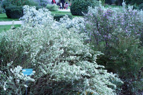 aster ericoides jardin des plantes 10 oct 027.jpg