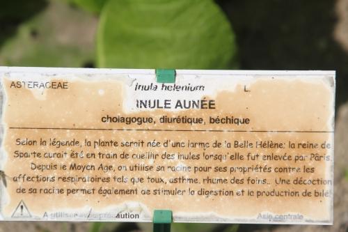 16 inula helenium marnay 22 juil  2012 081 (7).jpg