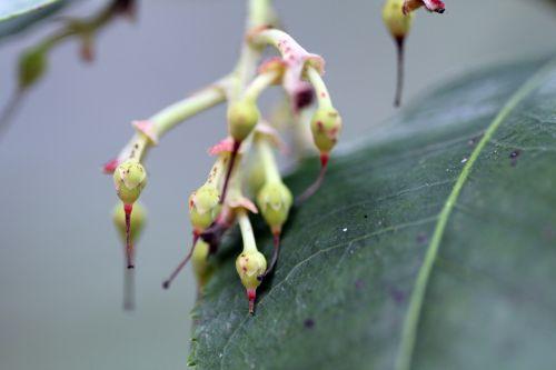a 1 arbutus x andrachnoides 29 mars 2013 013.jpg