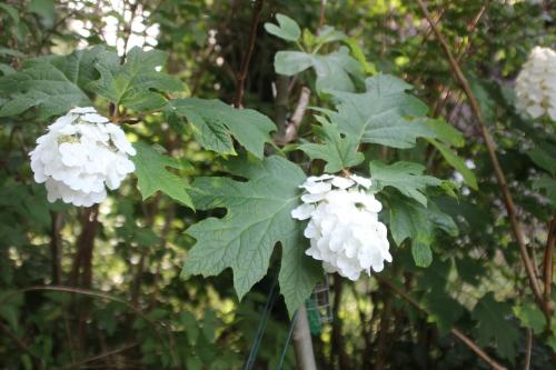 10 hydrangea quercifolia veneux 10 juil 2016 003.jpg