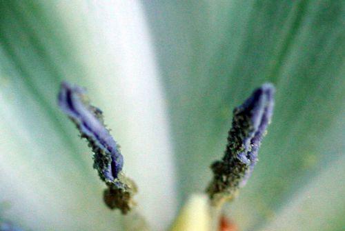 tulipe étam p 29 avril 021.jpg