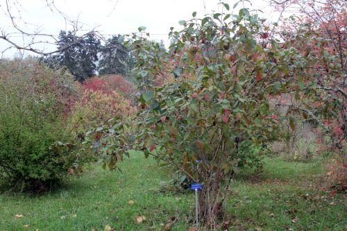 viburnum lantana barres 13 oct 2012 256.jpg