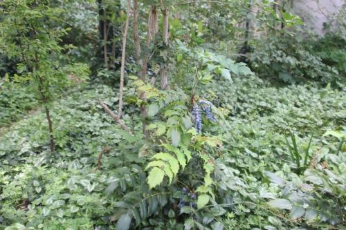 6 mahonia japonica veneux 14 juin 2017 015 (2).jpg