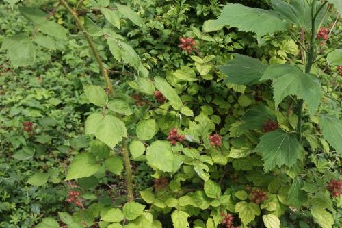 6 rubus phoenicolasius i romi 13 juil 2015 015.jpg