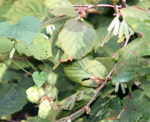 noisetier houblon romi 24 sept 005.jpg