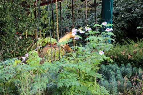 1 dahlia arborea paris 1 dec 2013 095 (1).jpg