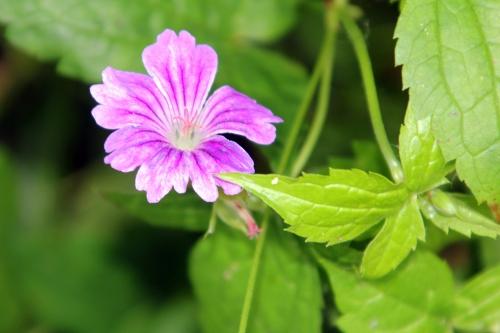1 geranium nodosum romi 9 juin 2012 105 (1).jpg