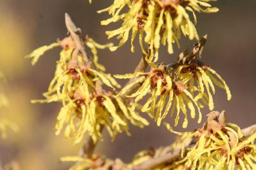 hamamelis fleurs romilly 24 fev 006.jpg