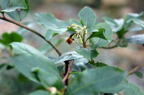 arbutus x andrachnoides 004.jpg