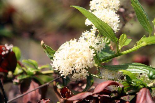 ceanothe blanc paris 4 mai 110.jpg