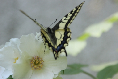 8 machaon veneux 9 juin 2016 007.jpg