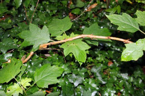 hydrangea quercifolia veneux 24 juin 2012 020.jpg