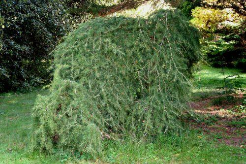cedrus arbofolia 9 oct 2010 092.jpg