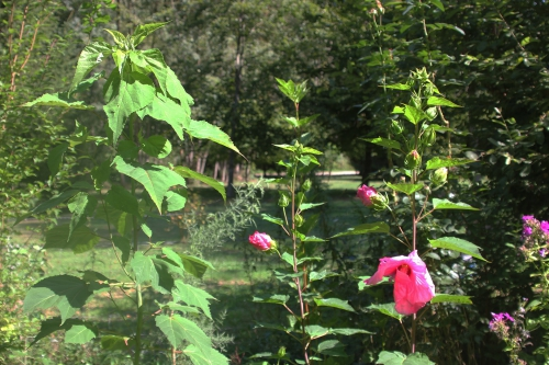1 hibiscus planet solene romi 30 août 2015 010.jpg