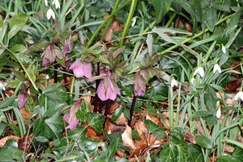 helleborus orientalis veneux 15 fev 2014 001 (1).jpg