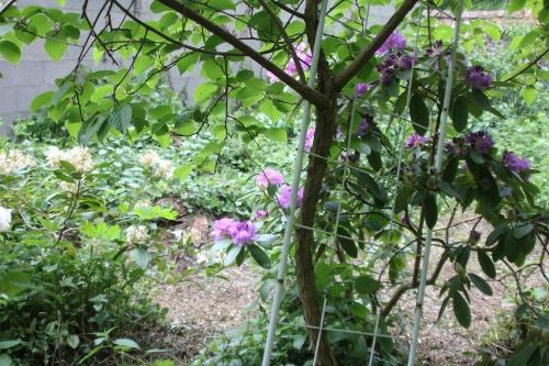 5 rhododendron catawbiense veneux 12 mai 2018 005 (7).jpg