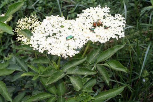 viridis cétoines romi 23 mai 061.jpg